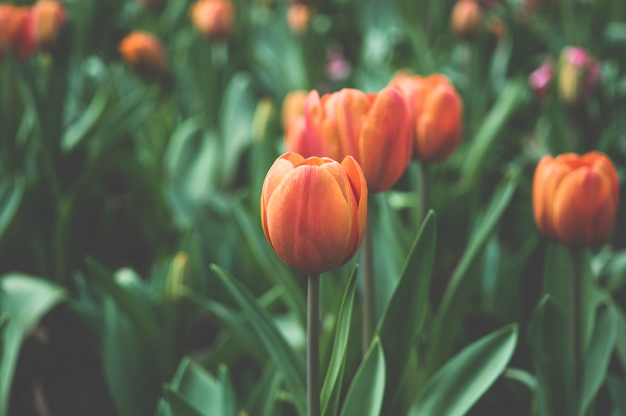 flowers-garden-orange-tulips-large